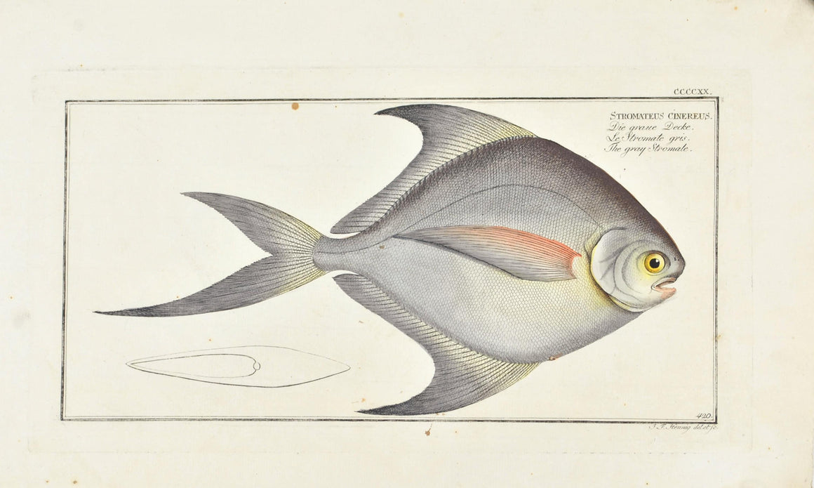 Gray Stromate by Marcus Bloch c. 1796 Hand Colored Antique Fish Print