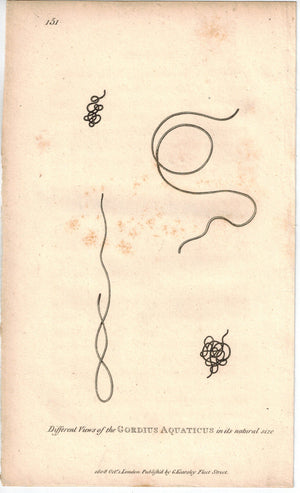 Horsehair Worm 1809 Antique Print by Shaw and Griffith
