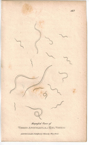 Eel Vibrio 1809 Antique Print by Shaw and Griffith