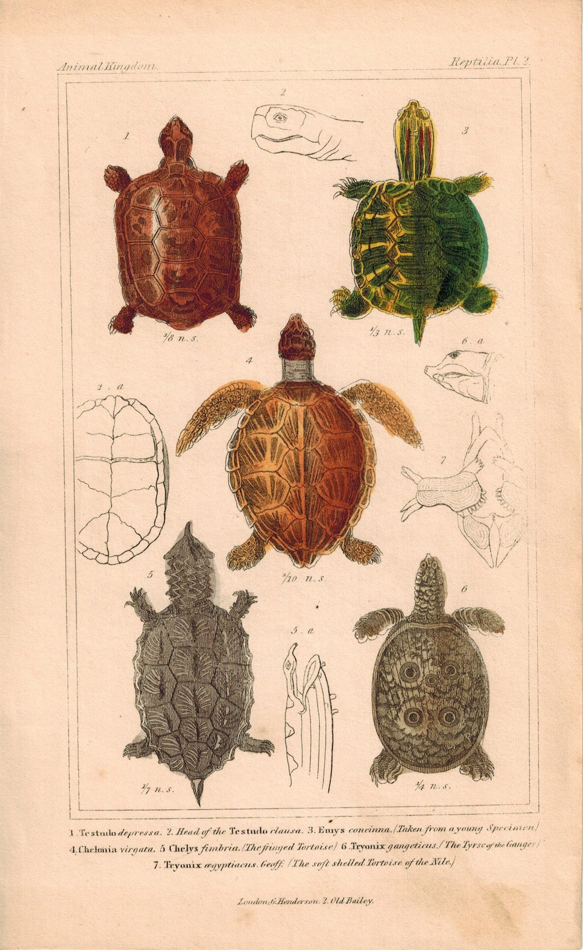 Tortoise Shells 1834 Engraved Cuvier Reptile Turtle Print Pl 7