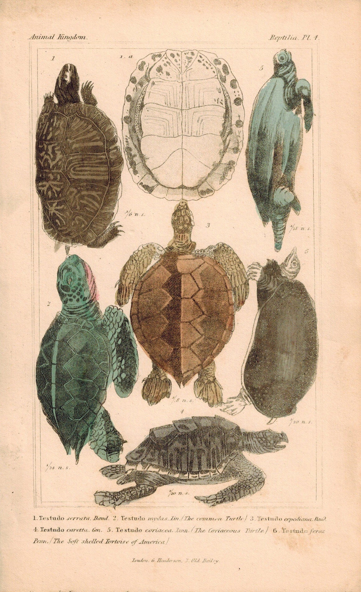Tortoise and Turtles 1834 Engraved Cuvier Reptile Print Plate 4