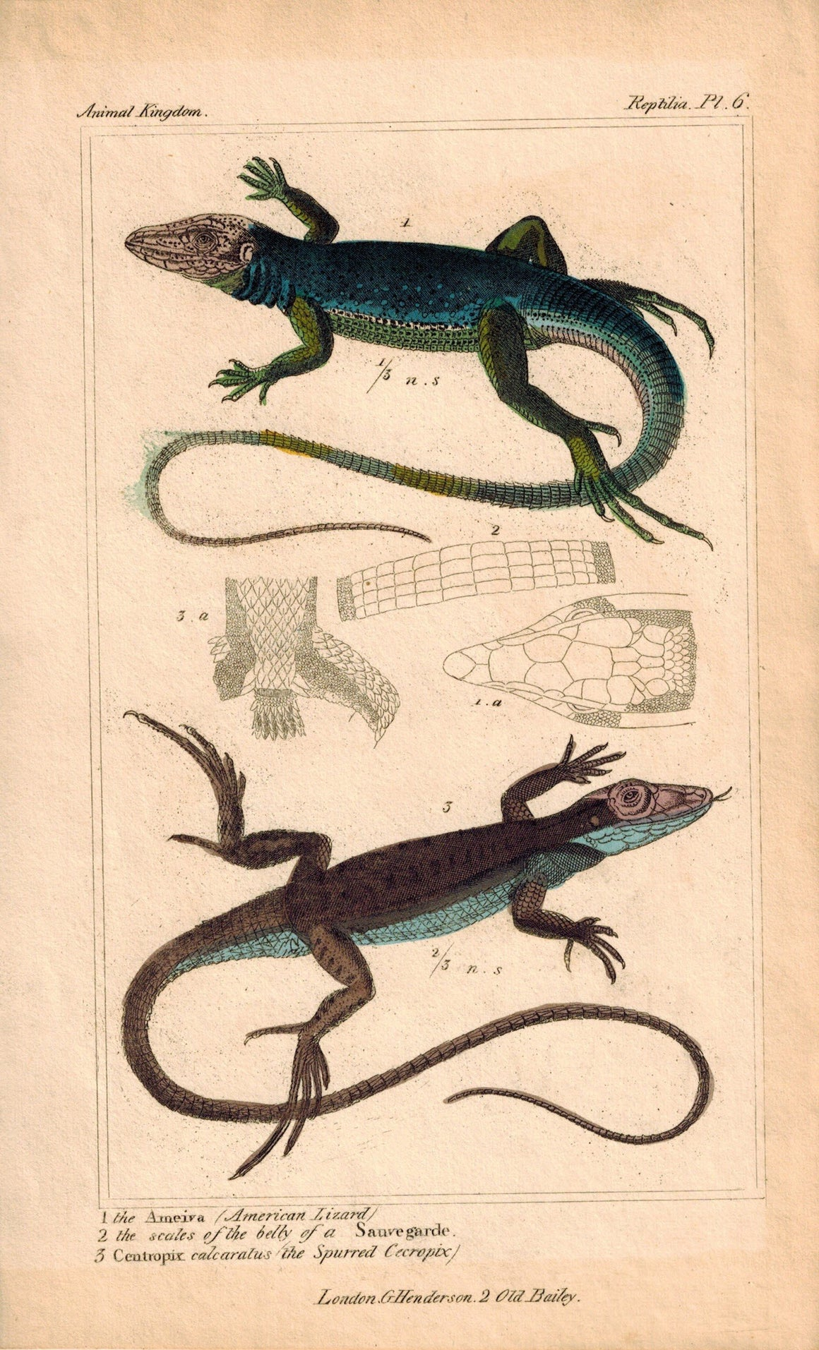 American Lizard 1834 Engraved Cuvier Reptile Print Plate 6
