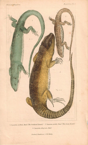 Ocellated Lizard and Green Lizard 1834 Engraved Cuvier Reptile Print Plate 8