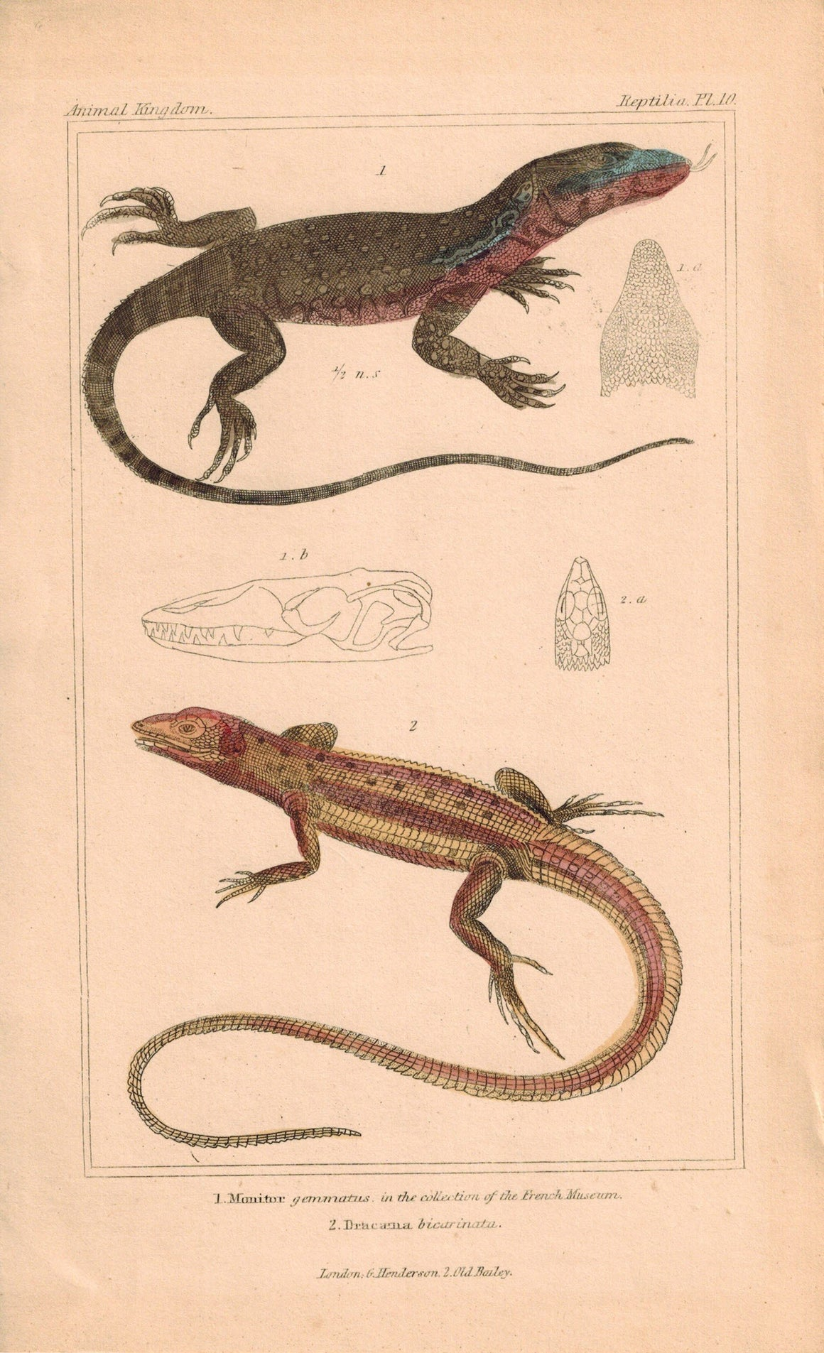 Monitor and Dracaena Lizards  1834 Engraved Cuvier Reptile Print Plate 10