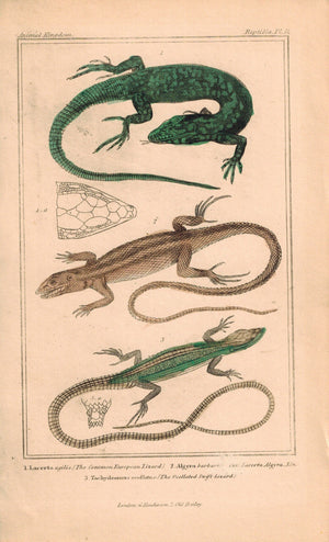 Common European and Ocellated Swift Lizard 1834 Engraved Cuvier Print Plate 11