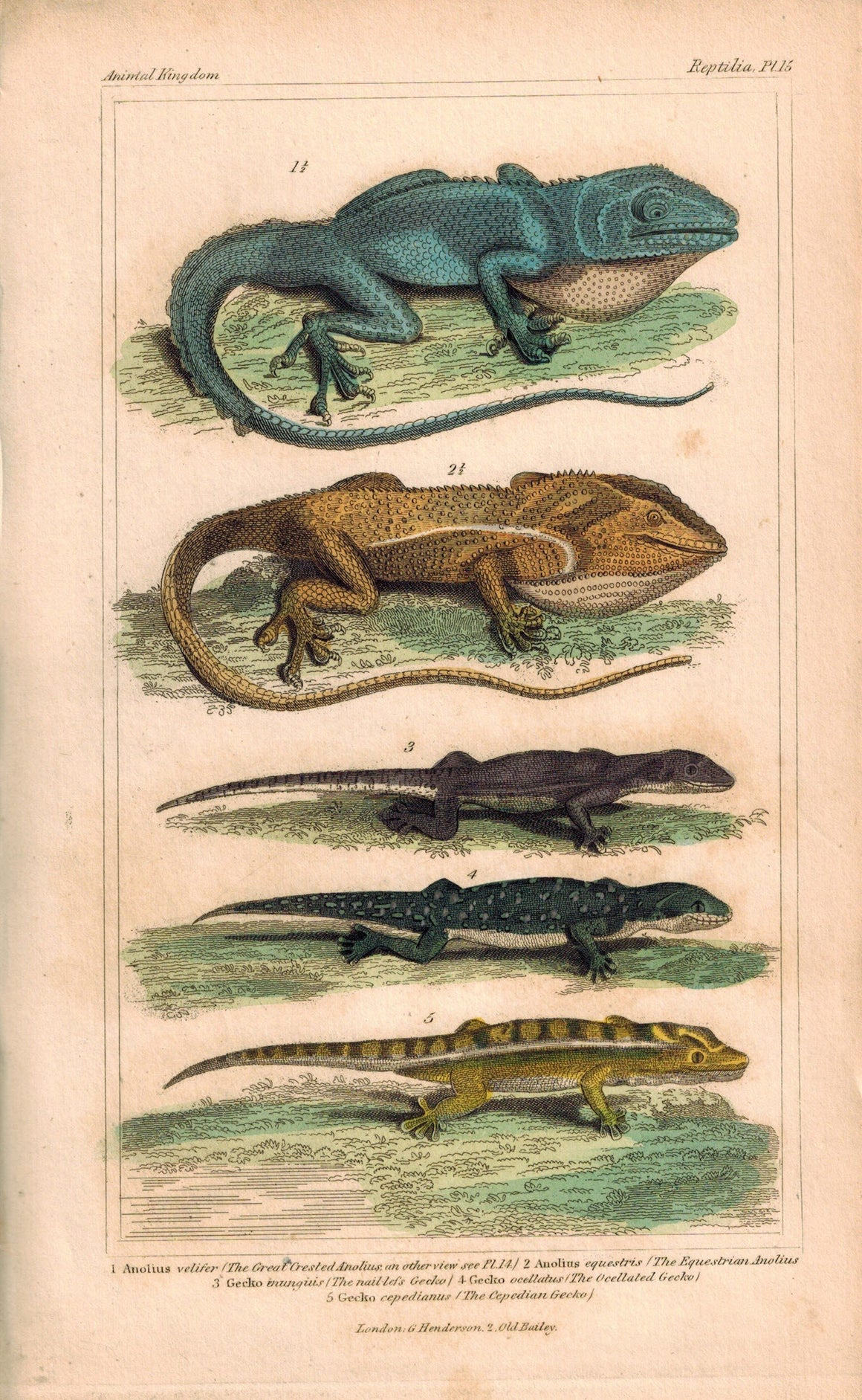 Crested Anolius and Gecko Lizards 1834 Engraved Cuvier Reptile Print Plate 15