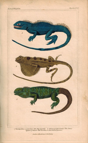 Physignath, Sitan and Iguana Lizard 1834 Engraved Cuvier Reptile Print Plate 16
