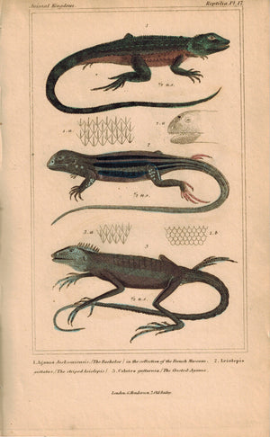 Bachelor Leiolepis Agama Lizards 1834 Engraved Cuvier Reptile Print Plate 17
