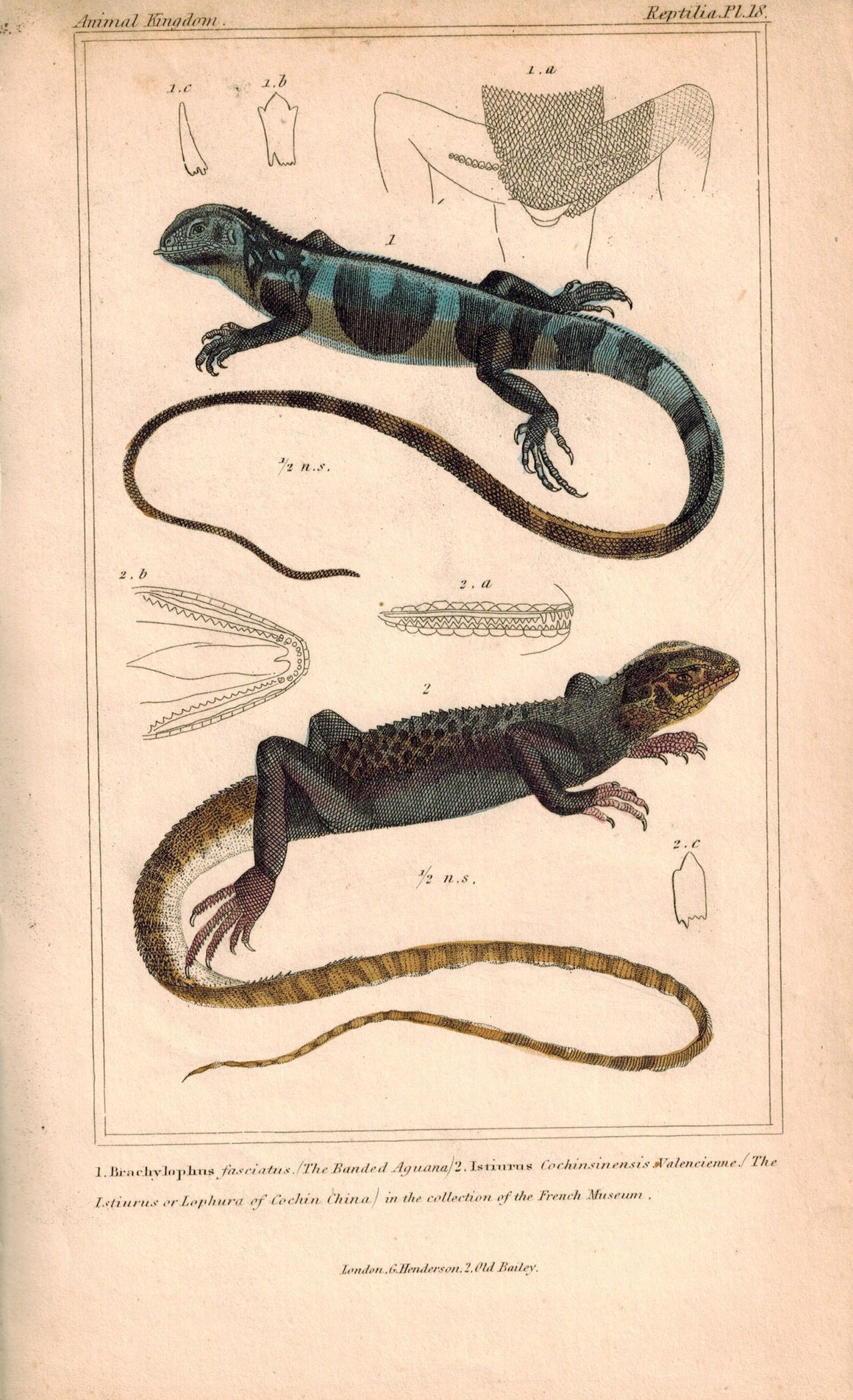 Banded Aguana, Lophura of Cochin China Lizards 1834 Engraved Cuvier Print Pl 18