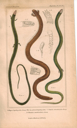 Common Scaly-foot Lizard Snake 1834 Engraved Cuvier Reptile Print Plate 26