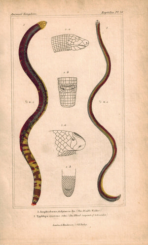 Double Walker and Blind Serpent of Schneider 1834 Engraved Cuvier Print Plate 28