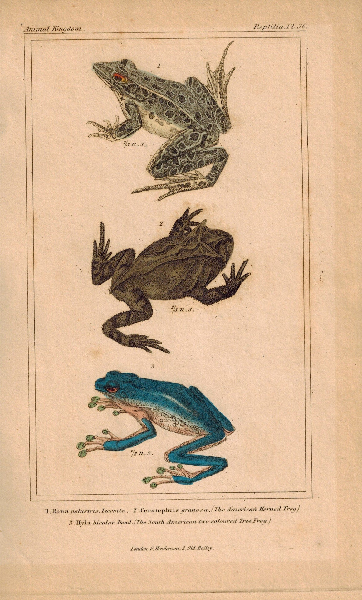 American Horned Frog and South American Tree Frog 1834 Engraved Cuvier Print 36