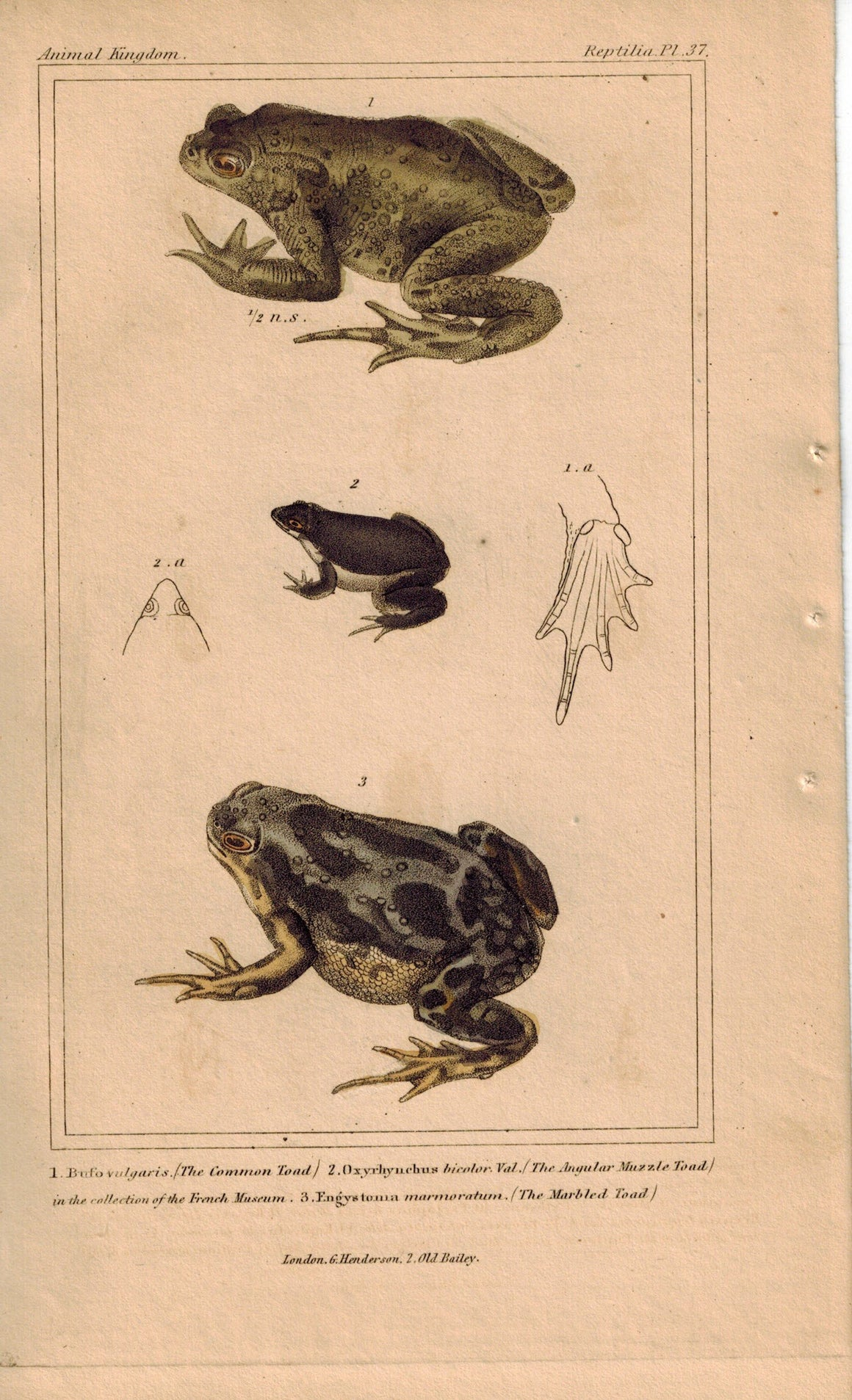 Common, Angular Muzzle and Marble Toad 1834 Engraved Cuvier Print Plate 37