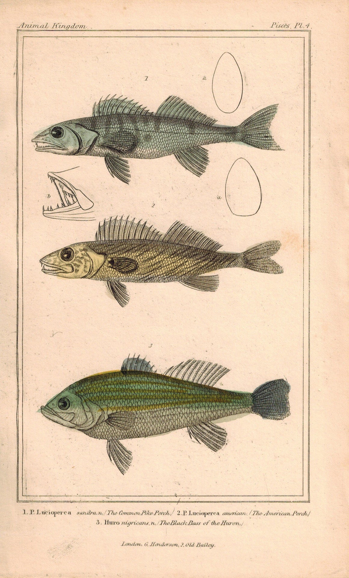 Common Pike Perch, American Perch, Black Bass 1834 Engraved Cuvier Fish Print 4