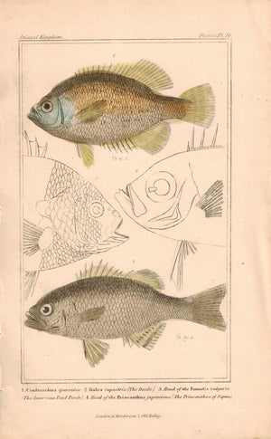 Centrarchus and Doule Fish 1834 Engraved Cuvier Print Plate 16