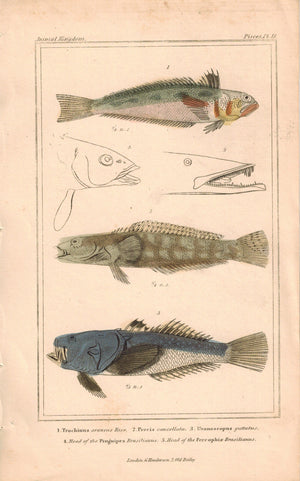 Antique Fish Plate 18 Georges Cuvier Animal Kingdom Print