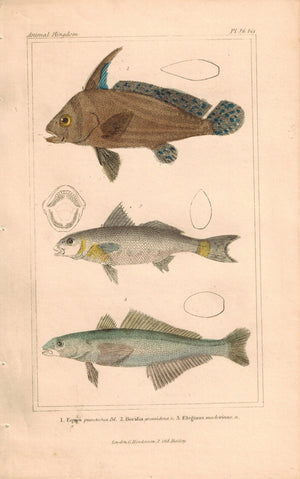 Antique Fish Plate 26A Georges Cuvier Animal Kingdom Print