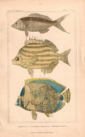 Chaetodon Fish 1834 Engraved Cuvier Print Plate 29