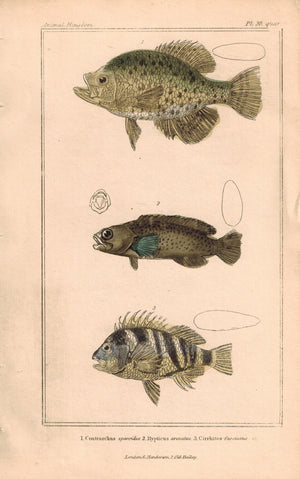 Cirrhites Fish 1834 Engraved Cuvier Antique Print Plate 28 quar