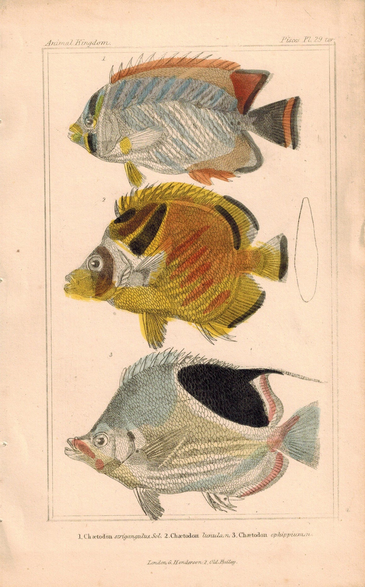 Chaetodon Fish 1834 Engraved Antique Cuvier Print Plate 29B