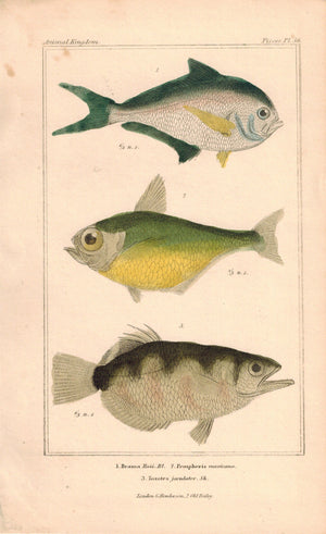Brama, Pempheris, Toxotes Fish 1834 Engraved Antique Cuvier Print Plate 36