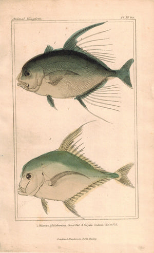 Olistus, Scyris Fish 1834 Engraved Antique Cuvier Print Plate 38A