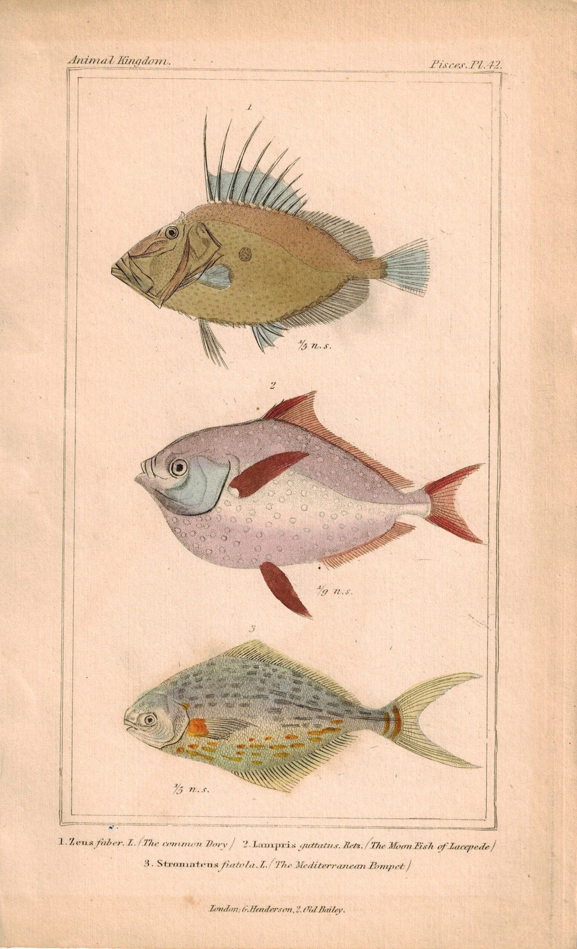 Common Dory. Moonfish, Kingfish, Butterfish Fish 1834 Engraved Cuvier Print 42