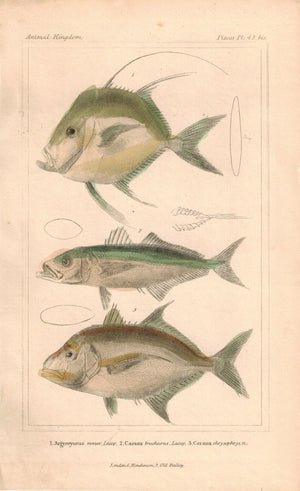 Argyreyosus, Caranx Fish 1834 Engraved Antique Cuvier Print Plate 42