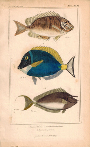 Surgeon Fish 1834 Engraved Antique Cuvier Print Plate 45