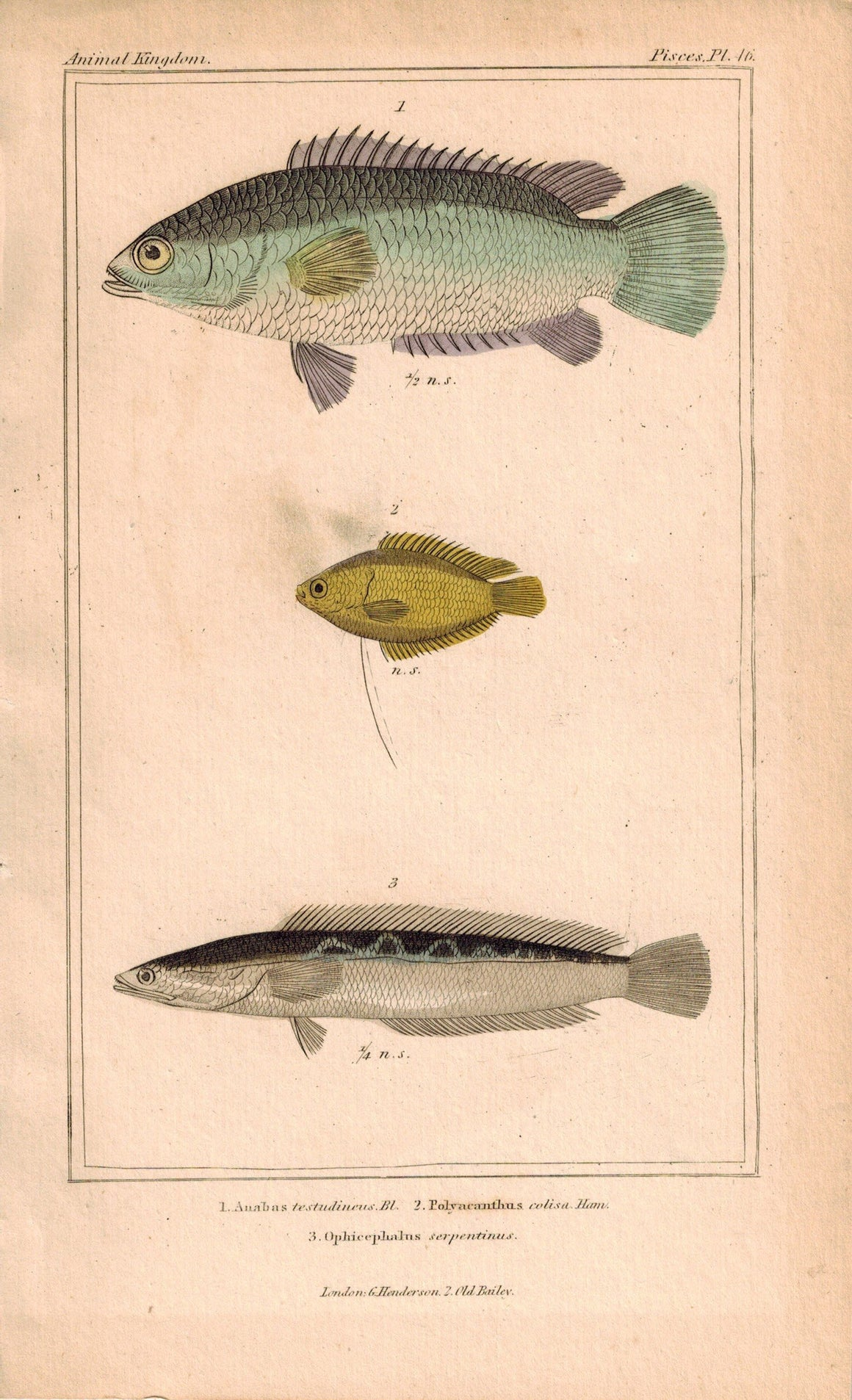 Anabas, Polyacanthus, Ophicephalus Fish 1834 Engraved Antique Cuvier Print 46