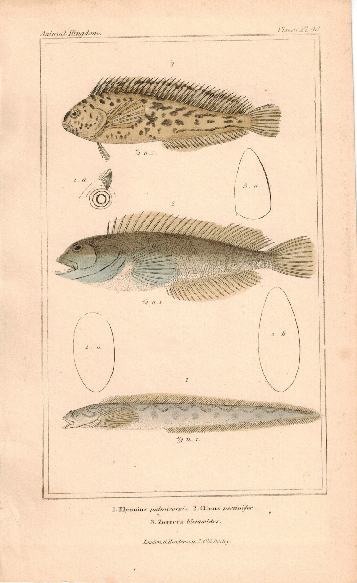Blennius, Clinus, Zoarces Fish 1834 Engraved Antique Cuvier Print Plate 48