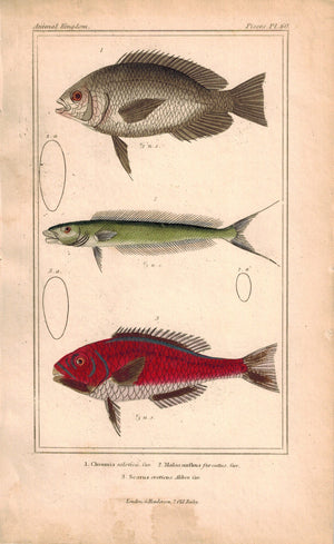 Chromis, malacanfhns, Scarus Fish 1834 Engraved Antique Cuvier Print Plate 60