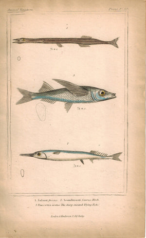 Salanx Scombresox Sharp Snouted Flying Fish 1834 Engraved Cuvier Print Plate 60