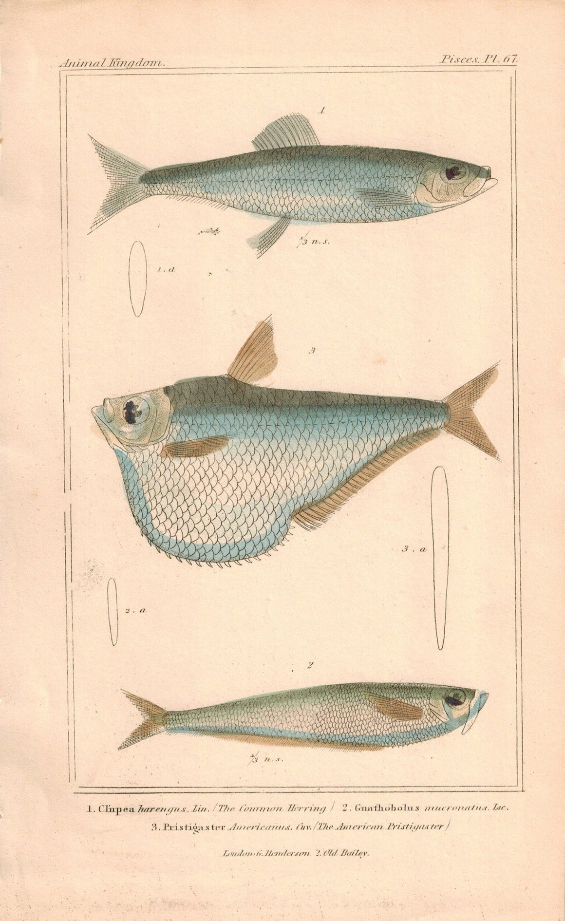 Common Herring, American Pristigaster Fish Print 1834 Engraved Cuvier Plate 67