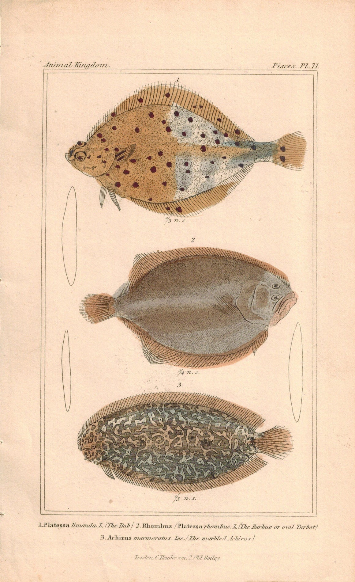 Dab, Oval Turbot, Marbled Achirus Fish Print 1834 Engraved Antique Cuvier Pl 71