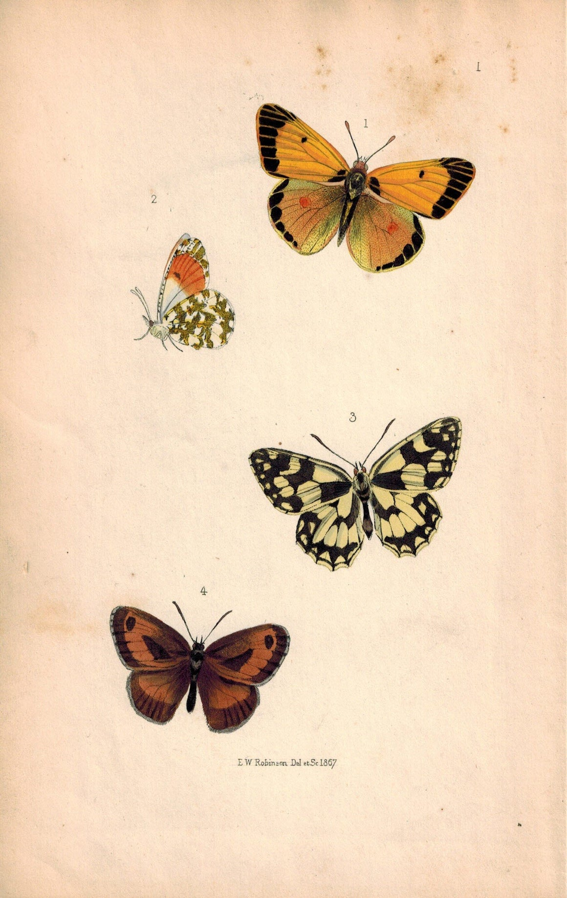 British Butterflies and Moths 1867 Print by Robinson Colias Edusa, Arge Galathea