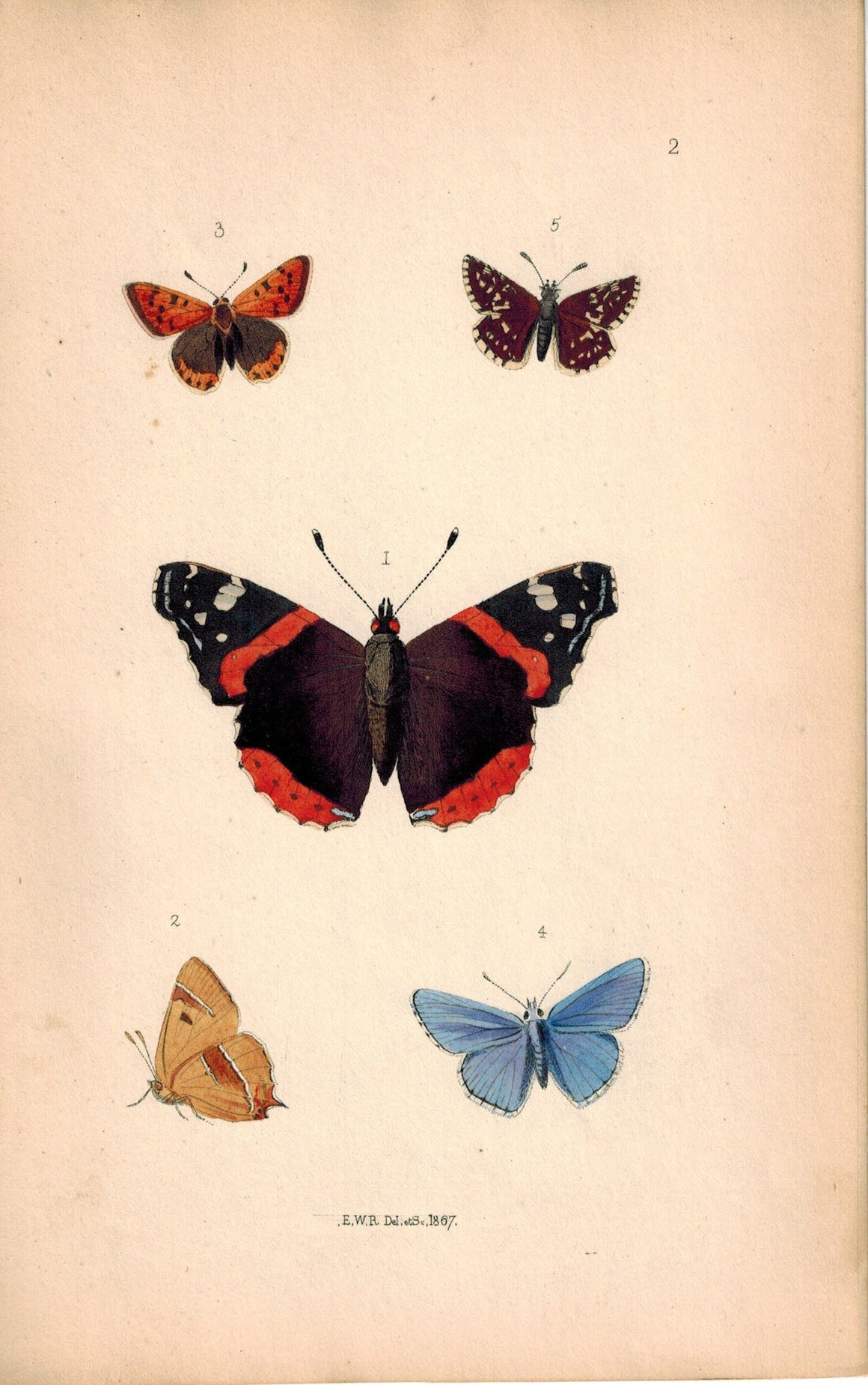 British Butterflies and Moths 1867 Print by Robinson Vanessa Atalant