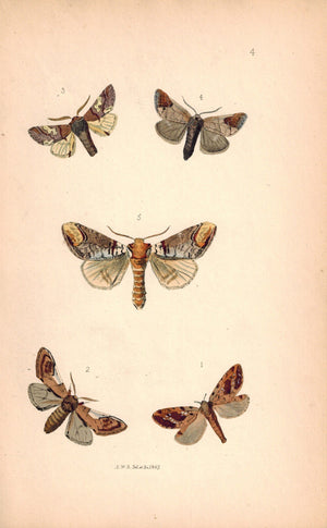 British Butterflies and Moths 1867 Print by Robinson Pygaera Bucephala