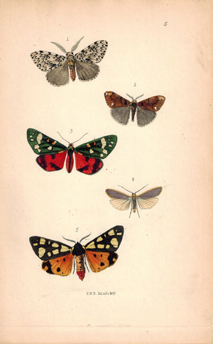 British Butterflies and Moths 1867 Print by Robinson Arctia Villica