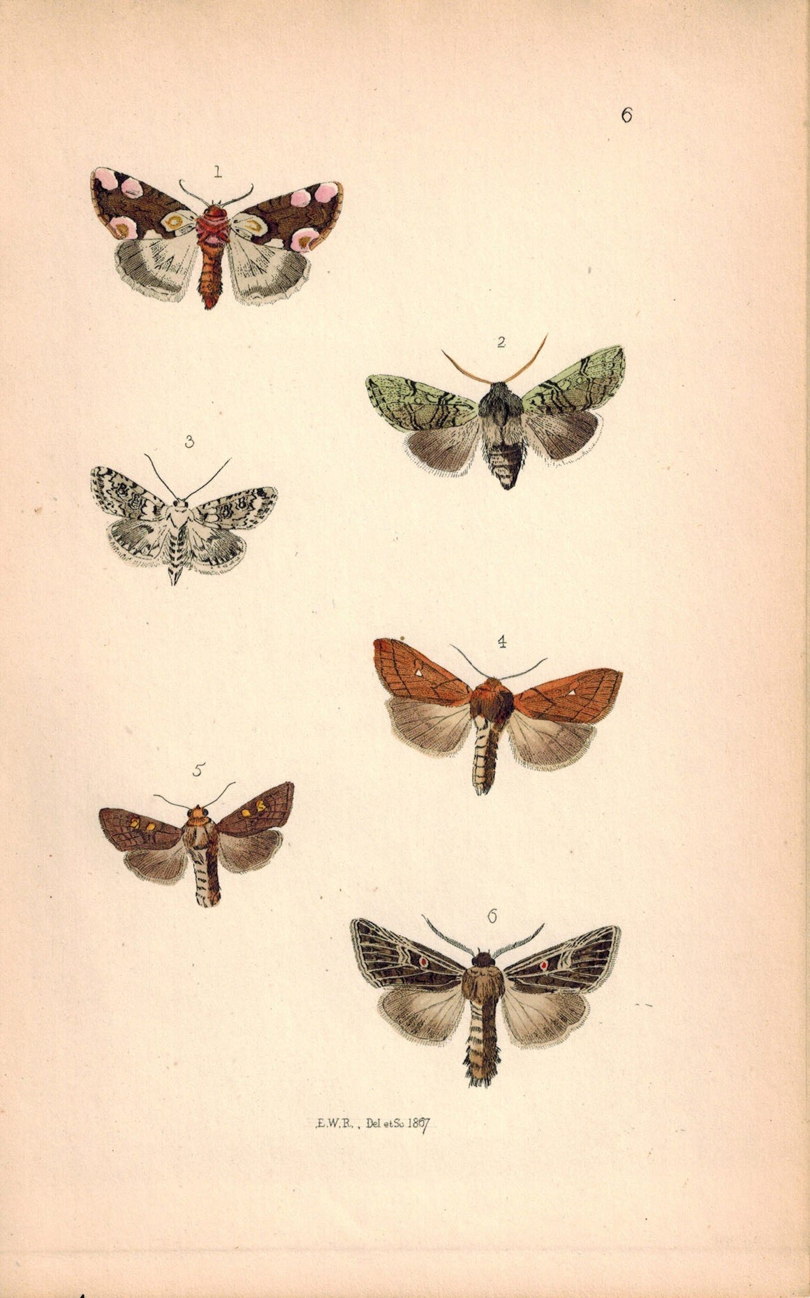 British Butterflies and Moths 1867 Print by Robinson Heliophobbus Popularis