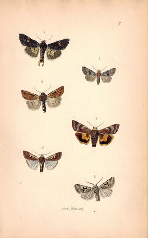 British Butterflies and Moths 1867 Print by Robinson Triphaena Lanthina