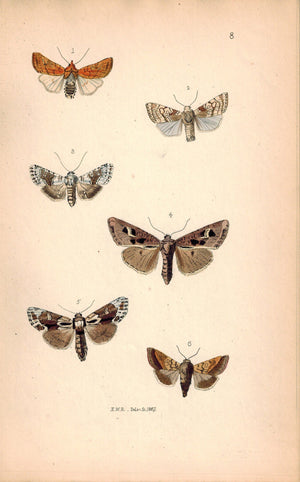 British Butterflies and Moths 1867 Print by Robinson Phlogophora Empyrea