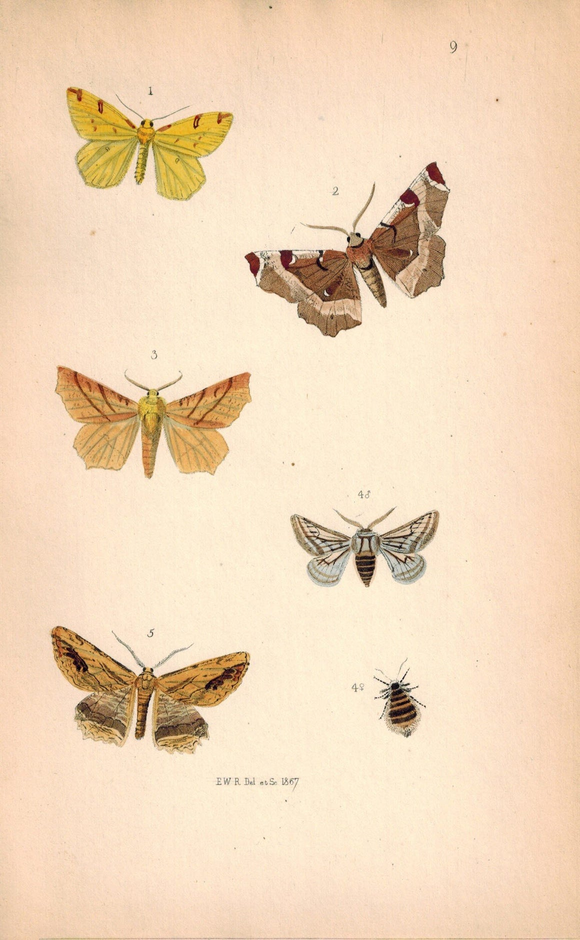 British Butterflies and Moths 1867 Print by Robinson Selenia Illustraria