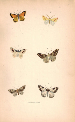 British Butterflies and Moths 1867 Print by Robinson Hybernia Leucophearia