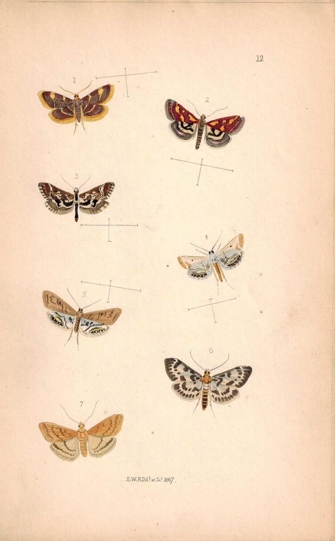 British Butterflies and Moths 1867 Print by Robinson Botys Urticata