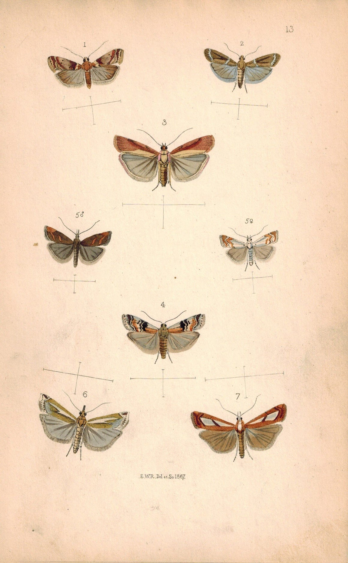 British Butterflies and Moths 1867 Print by Robinson Pempelia Carnella