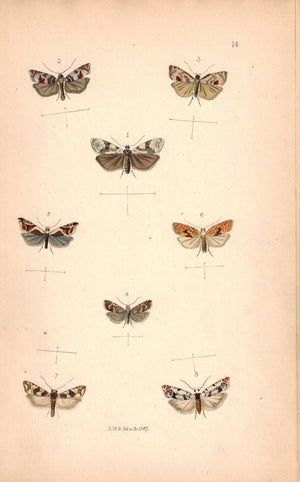 British Butterflies and Moths 1867 Print by Robinson Antithesia Corticana