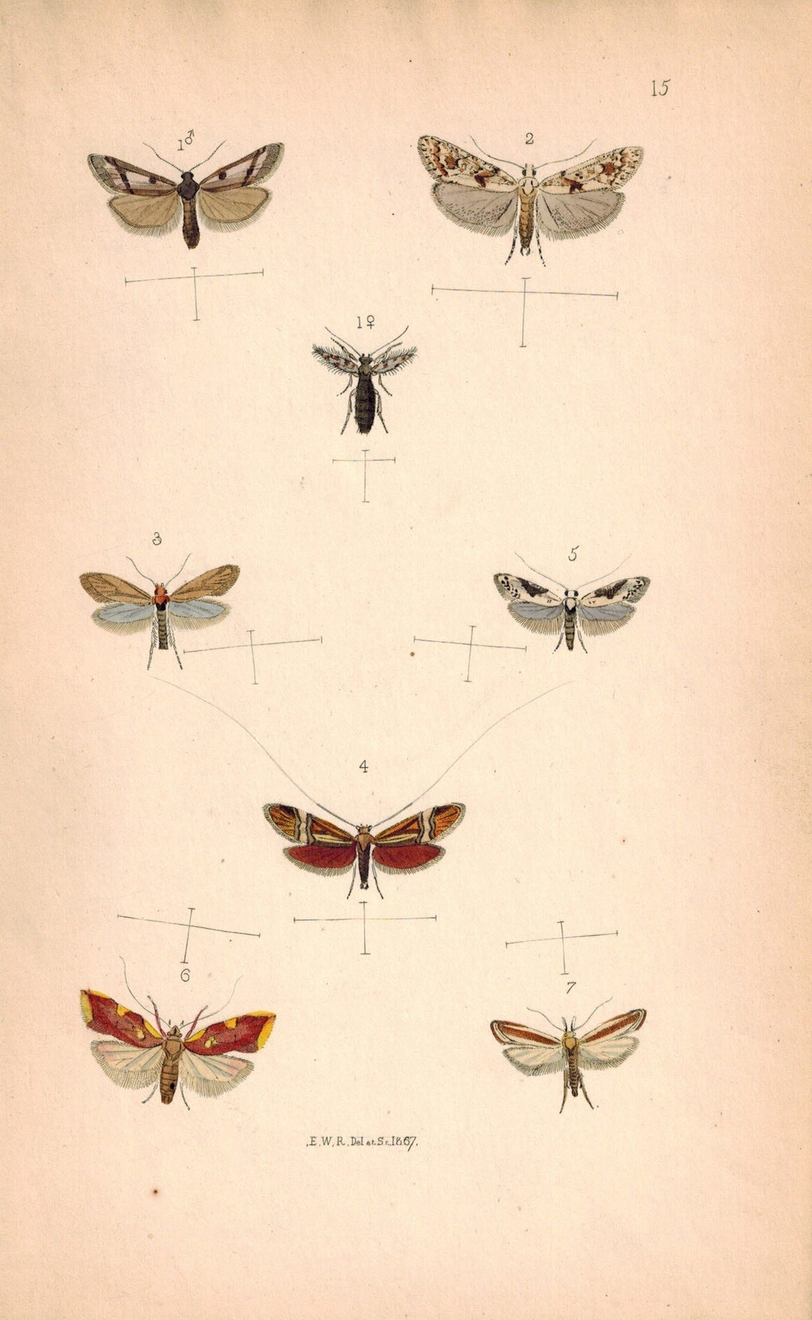 British Butterflies and Moths 1867 Print by Robinson Adela De Geerella