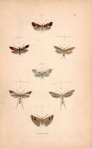 British Butterflies and Moths 1867 Print by Robinson Chrysoclista Linneella