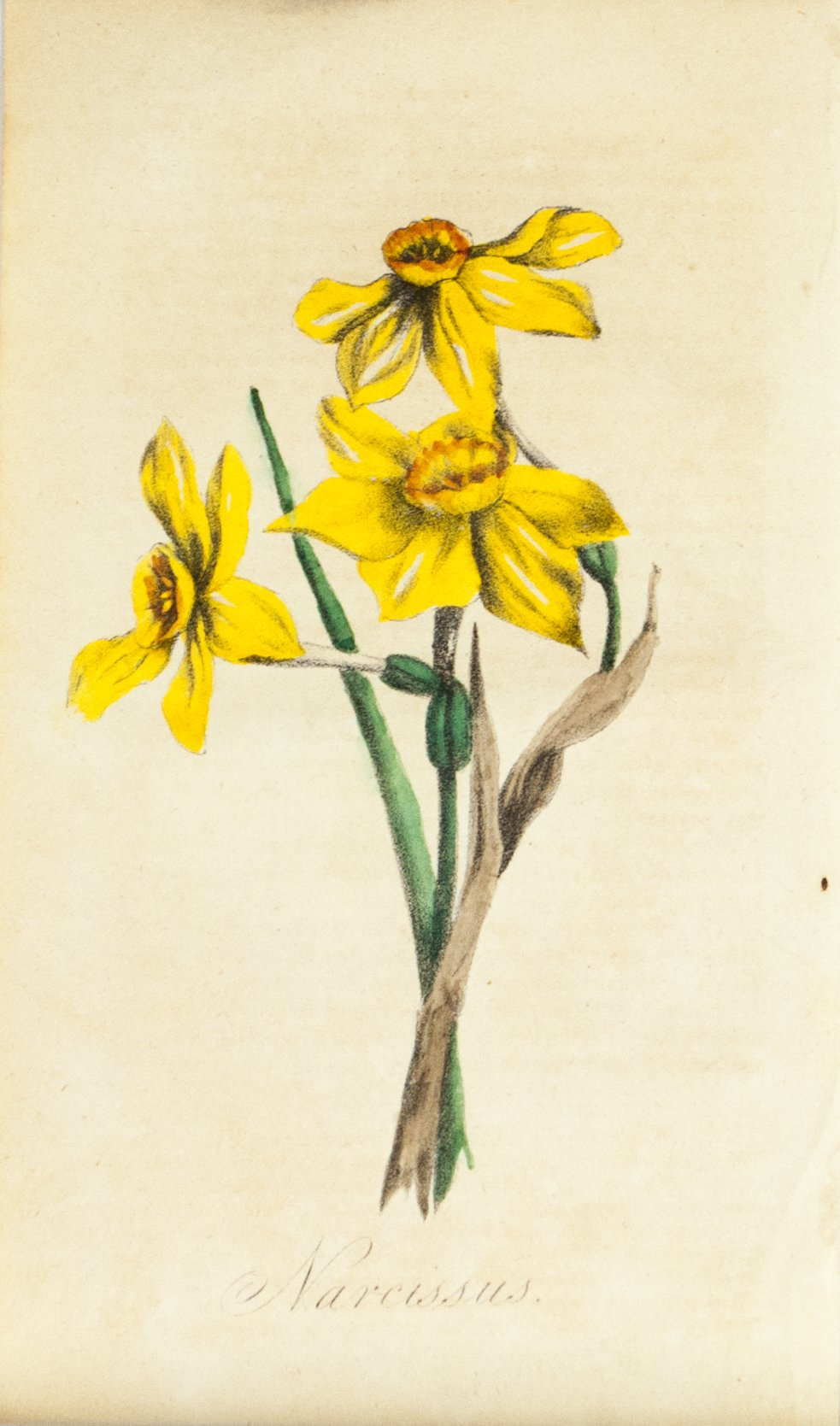 1830 Narcissus Flower